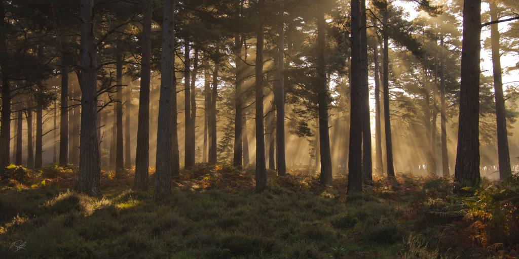 Landscape photography Sunrise in the Pine Trees of the New Forest National Park