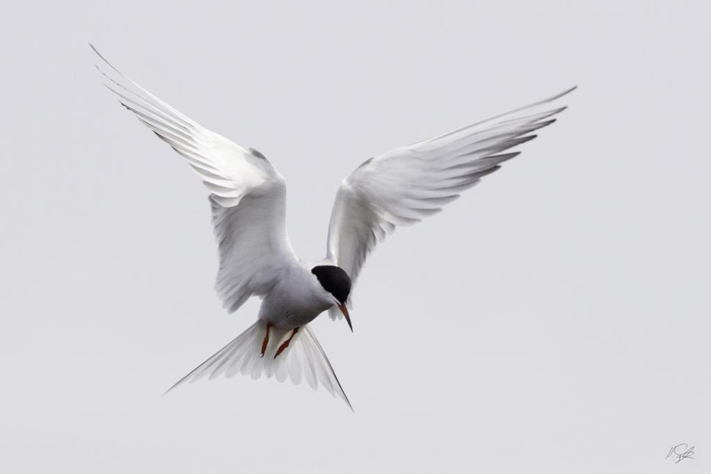 Fine art photography image of a tern fishing