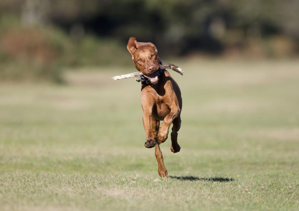 Henry Szwinto Photography Vizsla dog portrait pet stick running action