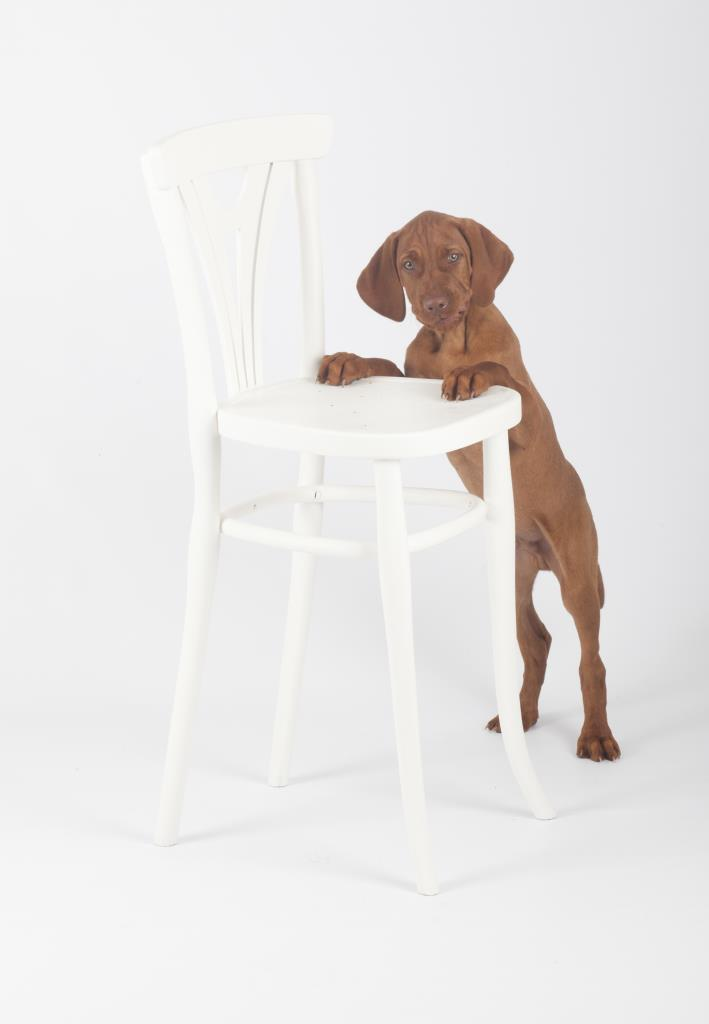 Hungarian Vizsla puppy studio photography shoot with chair