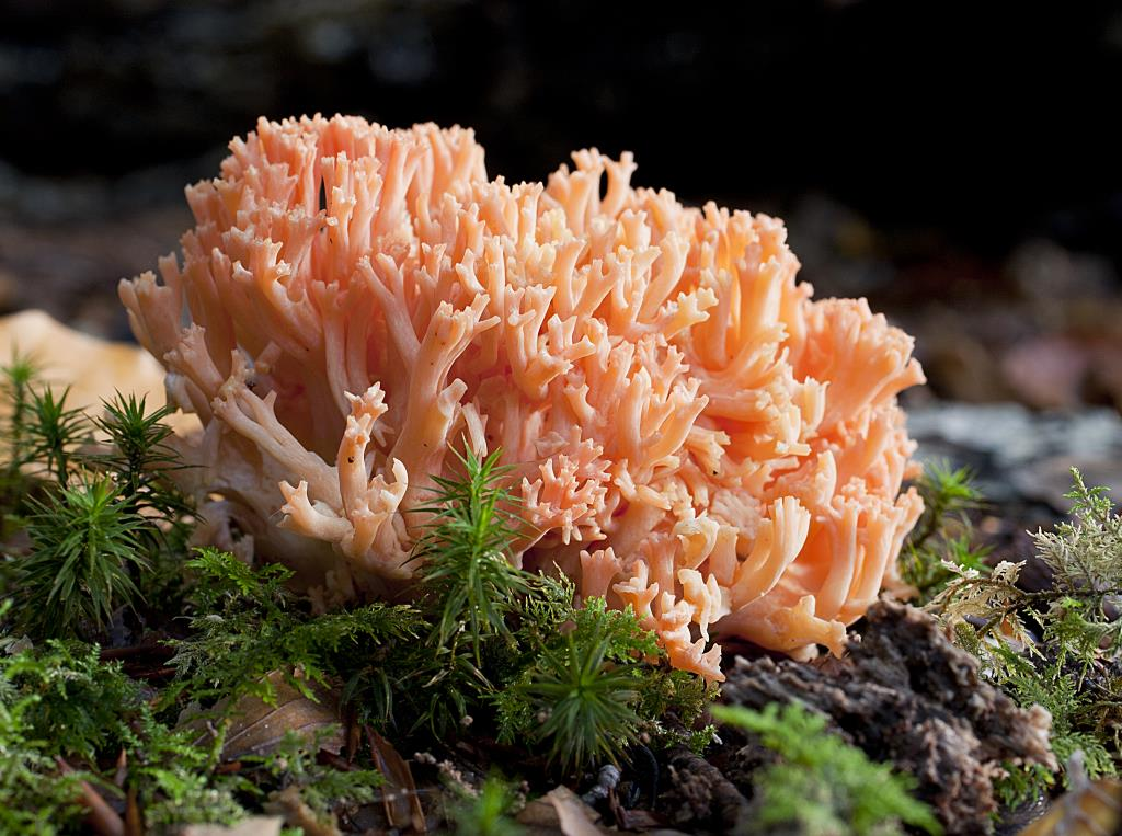 photo Pink Coral fungus new forest wild mushroom