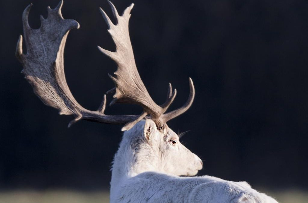 White Fallow Bucks in the New Forest